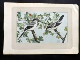 Mahler 1907 Antique Bird Print. La Pie-Grieche. Shrike
